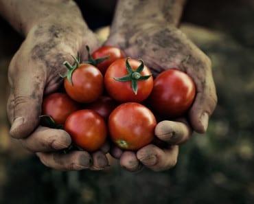 odla tomater, tomatodling, plantera