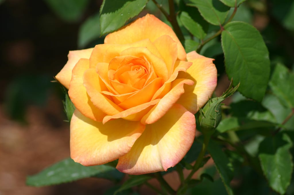 rosor, rosenträdgård, trädgårdsrosor