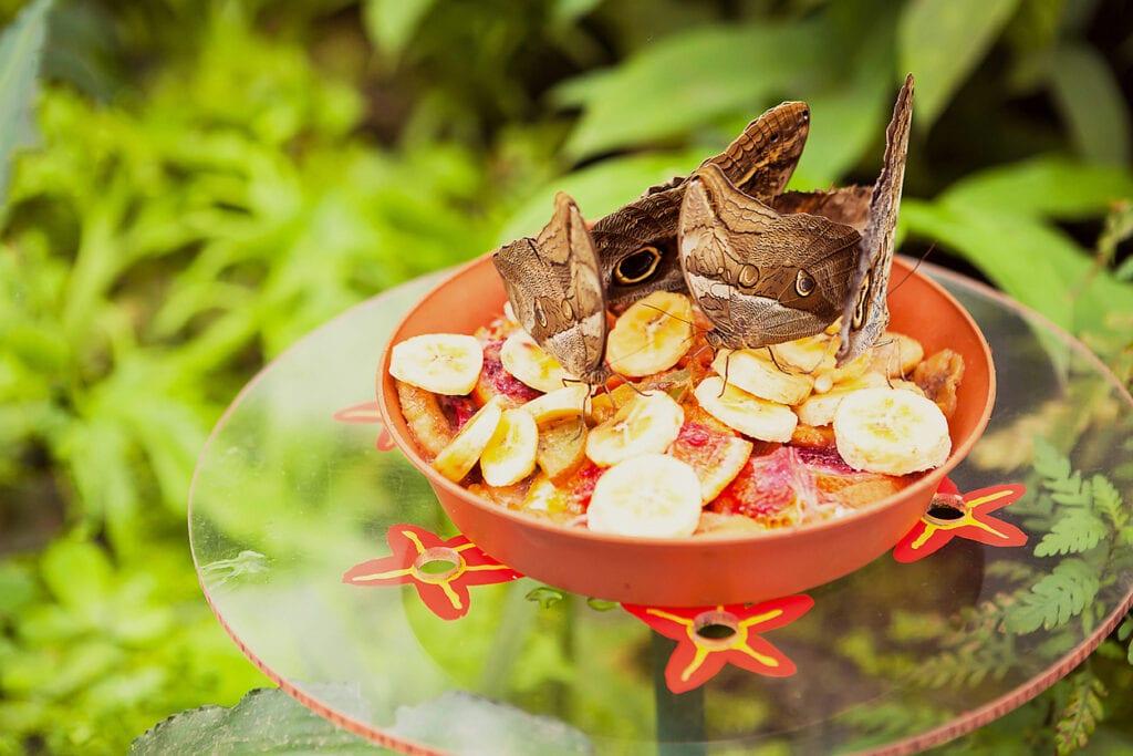 fjärilar äter frukt