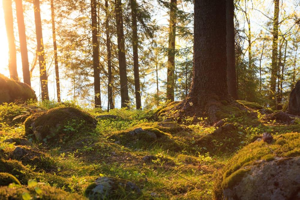 bättre hälsa, må bra, bra hälsa, hälsa, lycklig, vara lycklig, glädje, glad, psykologi, livsstil, natur, människa, välmående, välbefinnande, natur, naturområde, skog, skogar, skogsdungar, skogsbilder, naturliv, natur och hälsa, naturbilder, stress, oro, ångest, immunförsvar, fokus, koncentration , picknick, matsäck, barrskog, barrträd