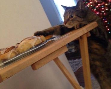 katt, kanelbulle, katter, kattbild, kattbilder