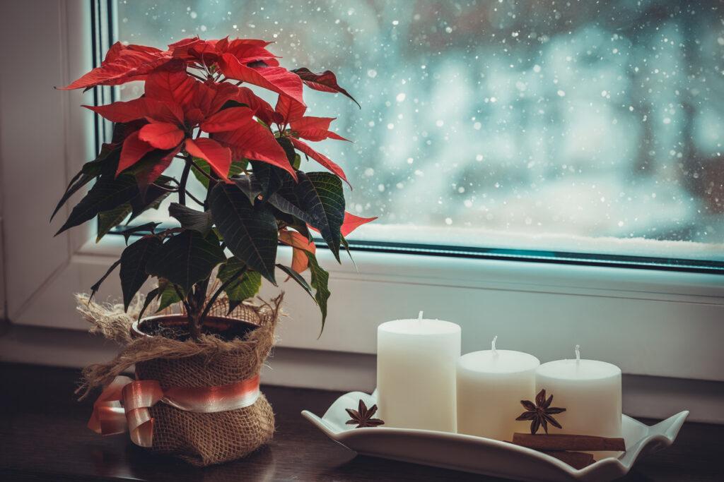 julblommor julstjärna