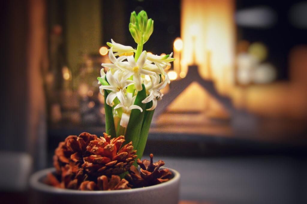 julblomma vita hyacinter